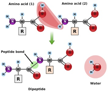 IB Biology: Peptide bond formation - model answers