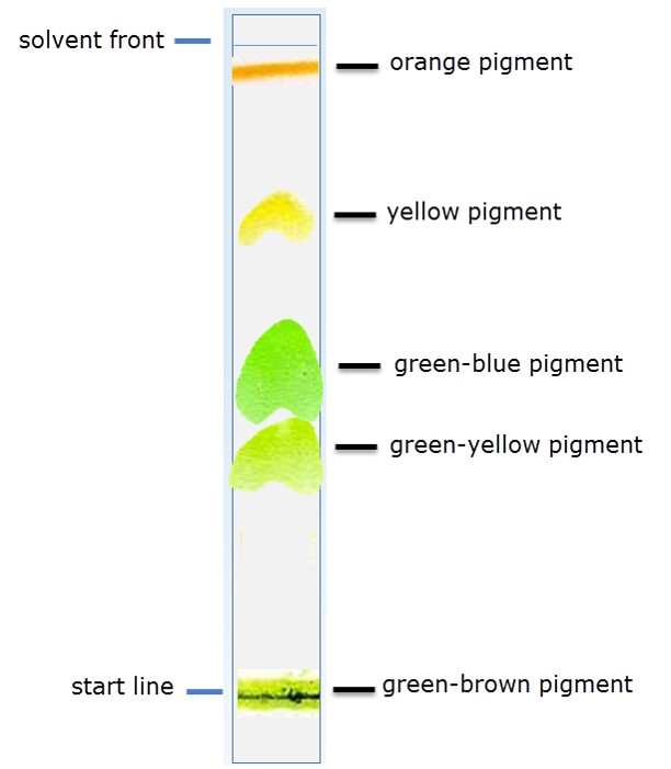 IB Biology: Photosynthetic pigments