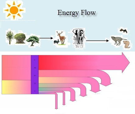 IB Biology: Energy flow in ecosystems quiz 4.2