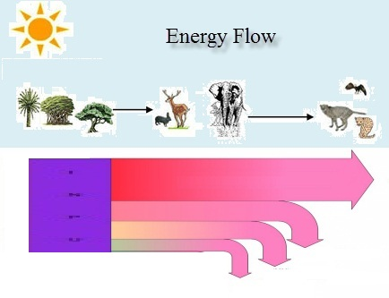 IB Biology: Energy Flow.