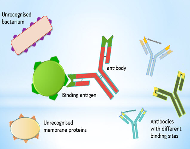 IB Biology: Monoclonal antibodies