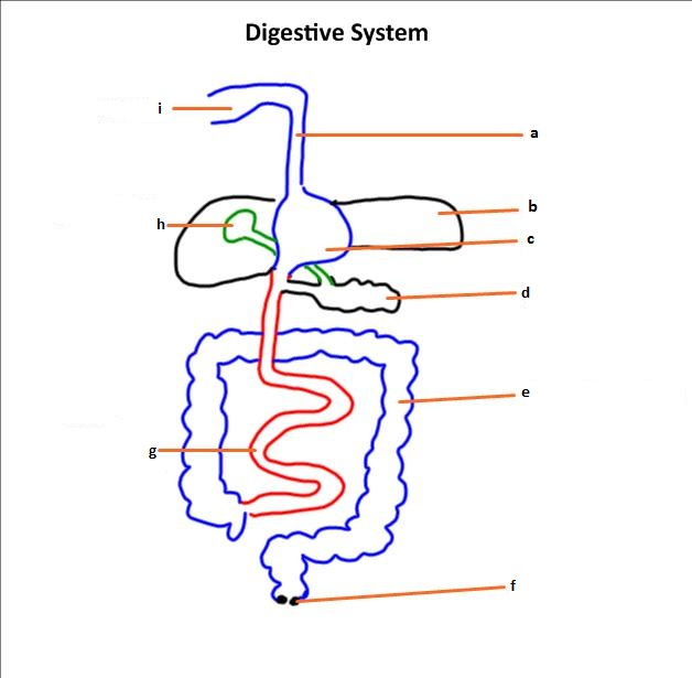 IB Biology: Structure of the digestive system.