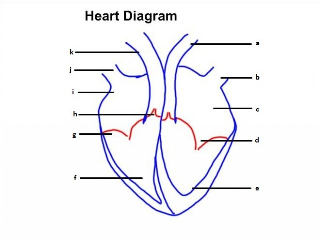 IB Biology: Heart Dissection & Diagram