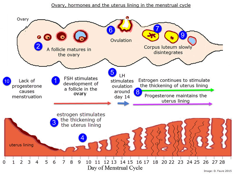 IB Biology: Hormones and the menstrual cycle