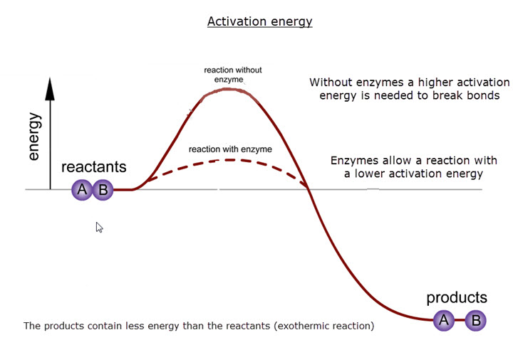 IB Biology: Activation energy - model answers