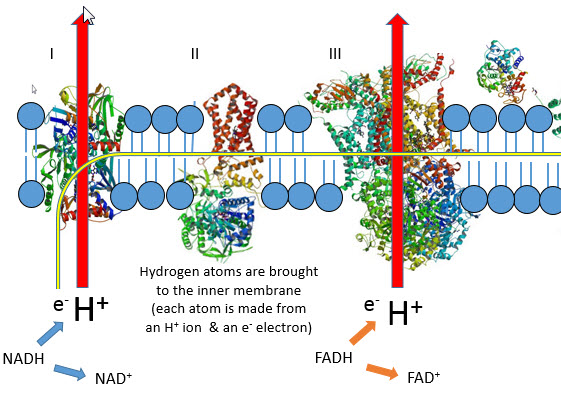 IB Biology: Electron transport chain - revision games