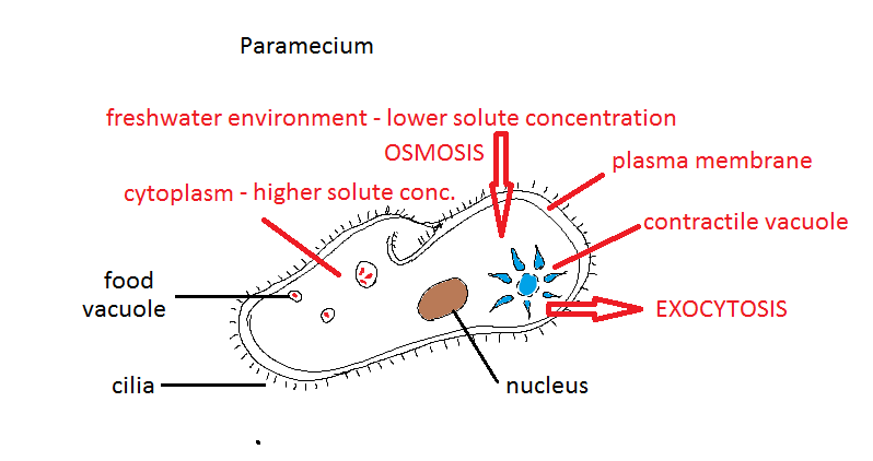 IB Biology: Osmoregulators: paramecium - model answers