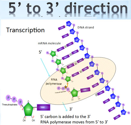 IB Biology: Transcription - extras for HL
