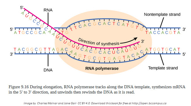 IB Biology: DNA transcription quiz HL 7.2