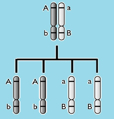 IB Biology: Discovering linkage - Model Answers.