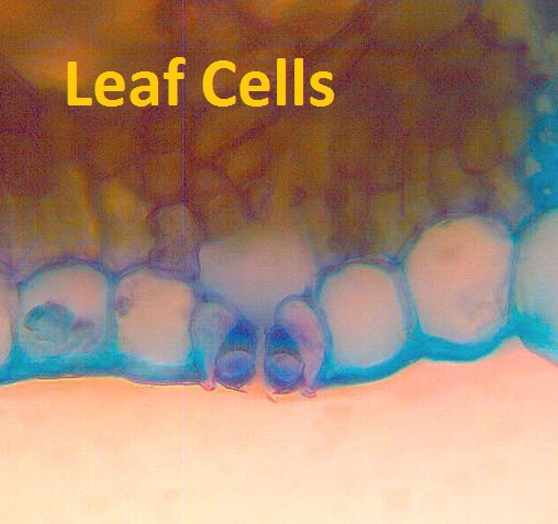 IB Biology: Leaf stomata & transpiration
