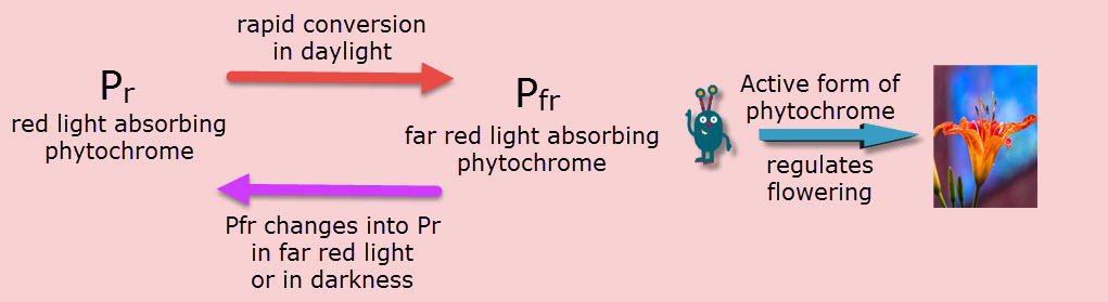 IB Biology: Phytochrome Qn model answer