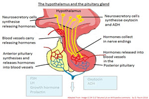 IB Biology: Pituitary gland and hormones