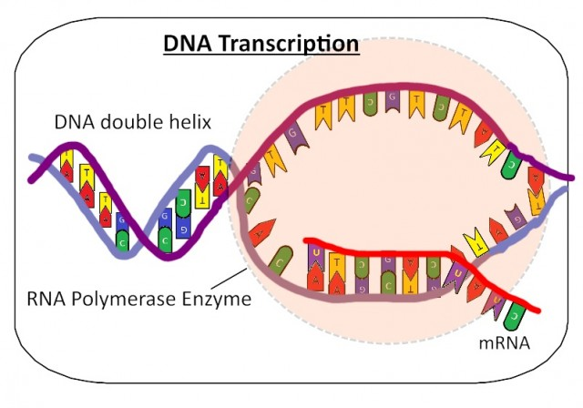 IB Biology: Transcription of mRNA from DNA