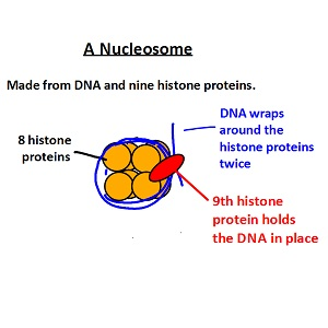 IB Biology: DNA structure - Extras for HL students