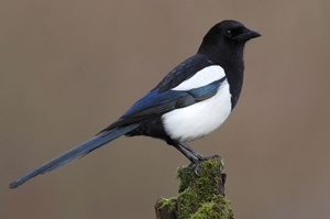 IB School Leadership: Magpie Corner