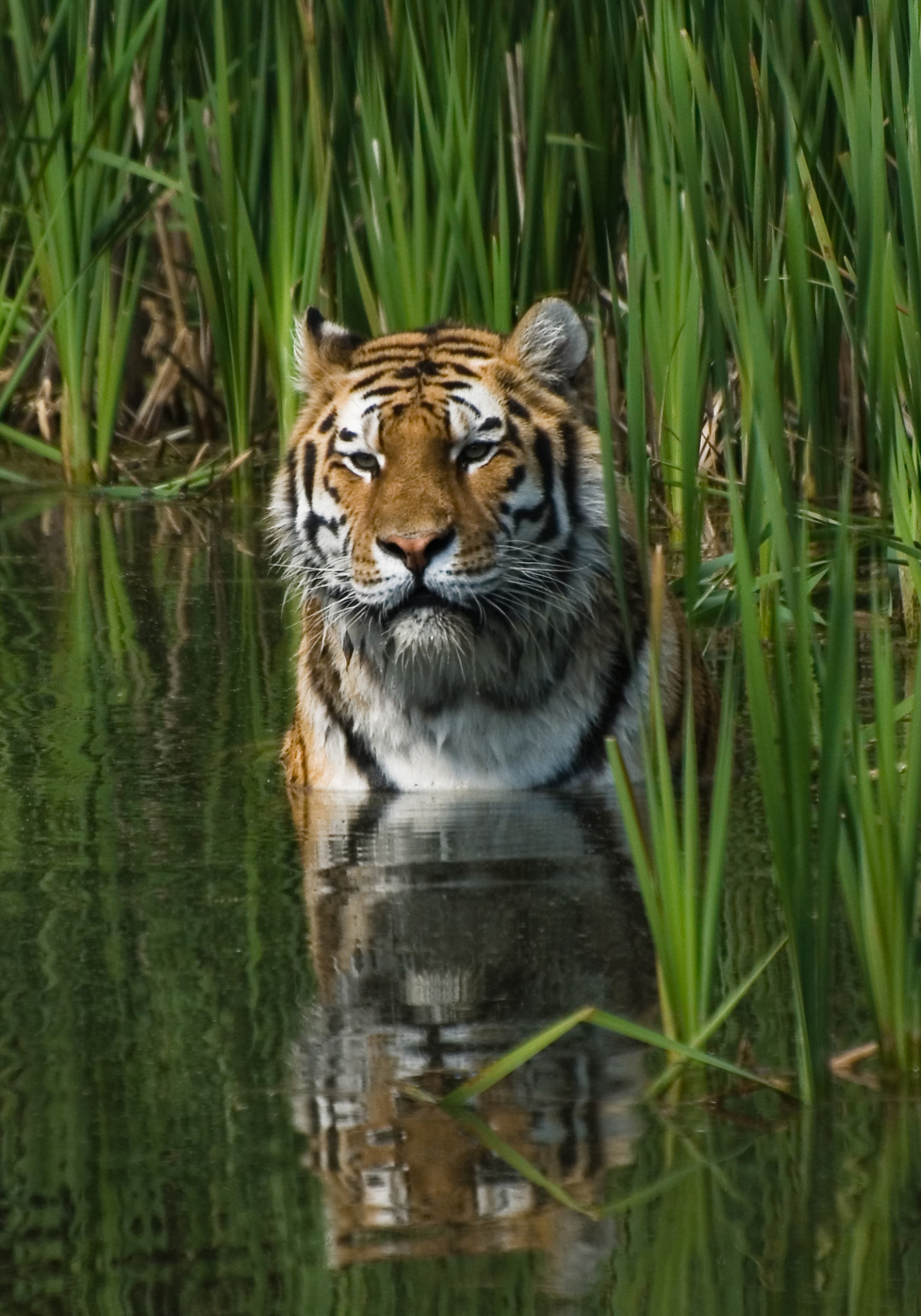 IB Environmental Systems & Societies: 3.4 Tiger recovery in India